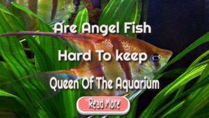 angel fish keeping